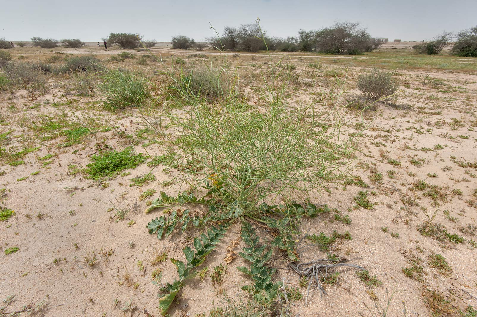 Sahara mustard (Asian mustard, wild-turnip...Irkaya) Farms. South-western Qatar