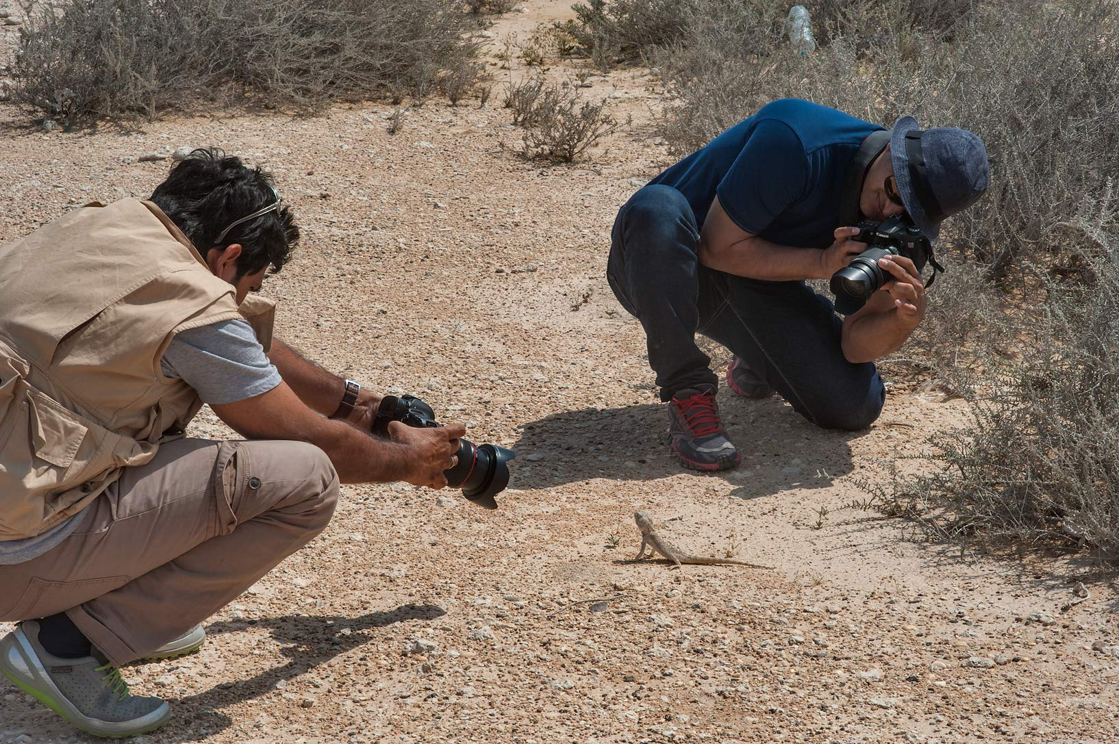 Taking pictures of yellow-spotted Agama (Trapelus...Irkaya) Farms. South-western Qatar