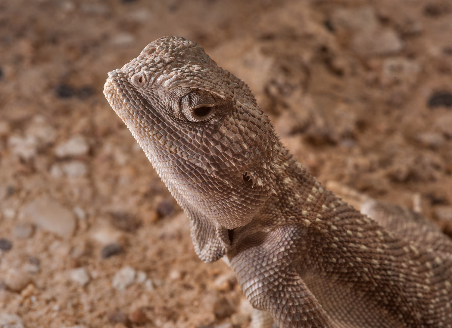 Close up of yellow-spotted Agama (Trapelus...Irkaya) Farms. South-western Qatar