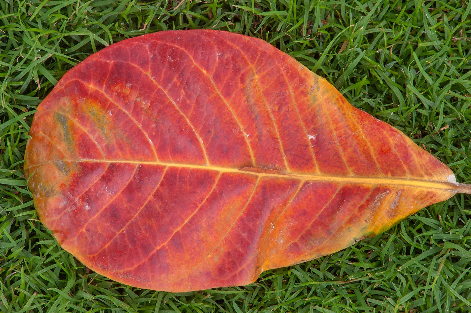 Burgundy color of a leaf of Bengal almond tree...near a corner with Onaiza. Doha, Qatar