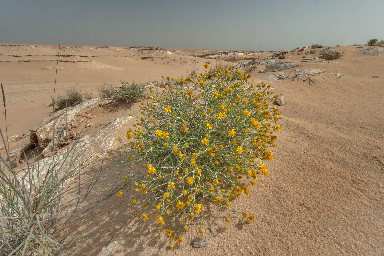 Arfaj (Rhanterium epapposum) growing on gypsum...an Nakhsh) in south-western Qatar