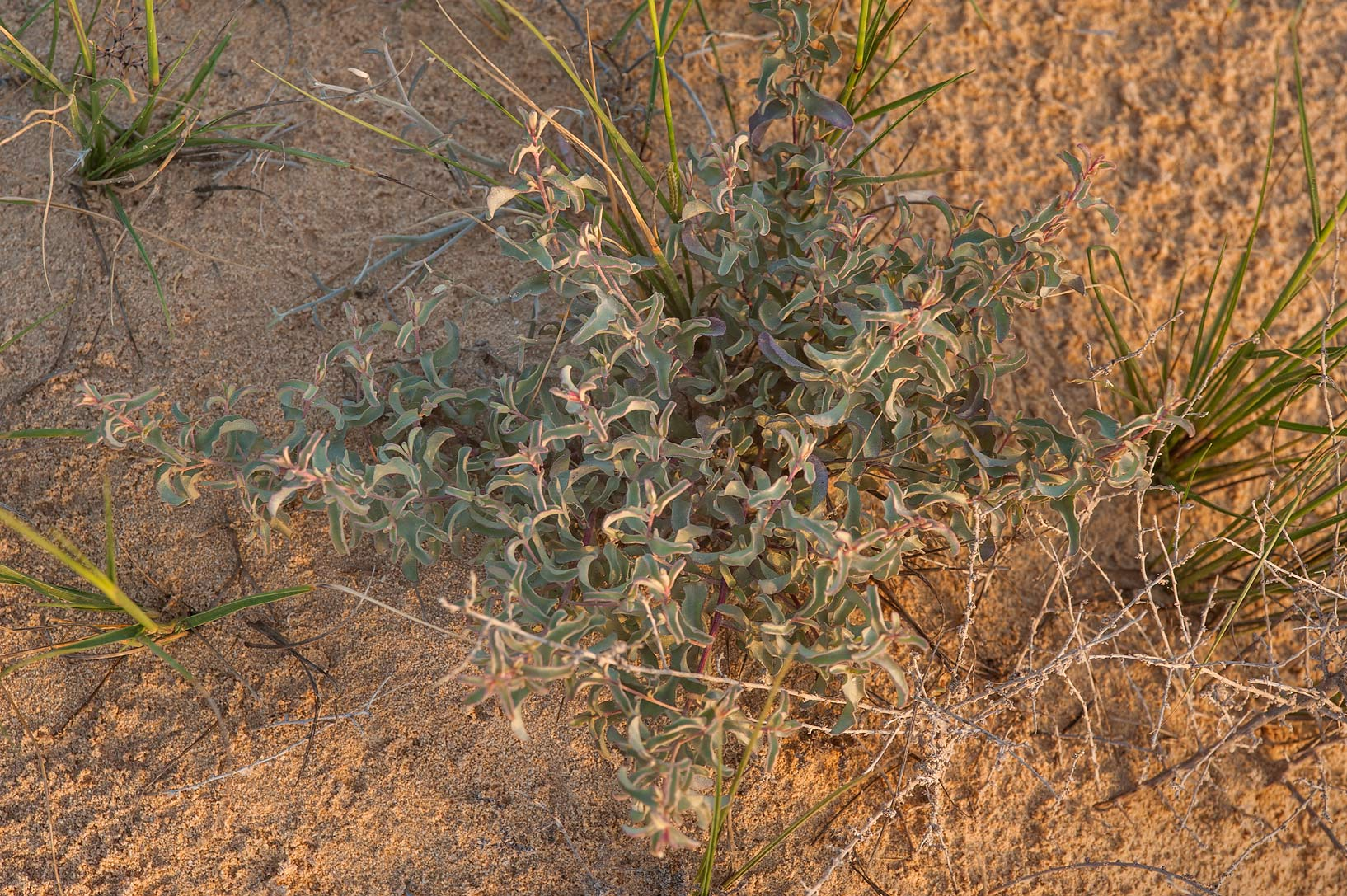 Plant of Atriplex leucoclada on a rocky ridge of Jebel Fuwairit. Northern Qatar