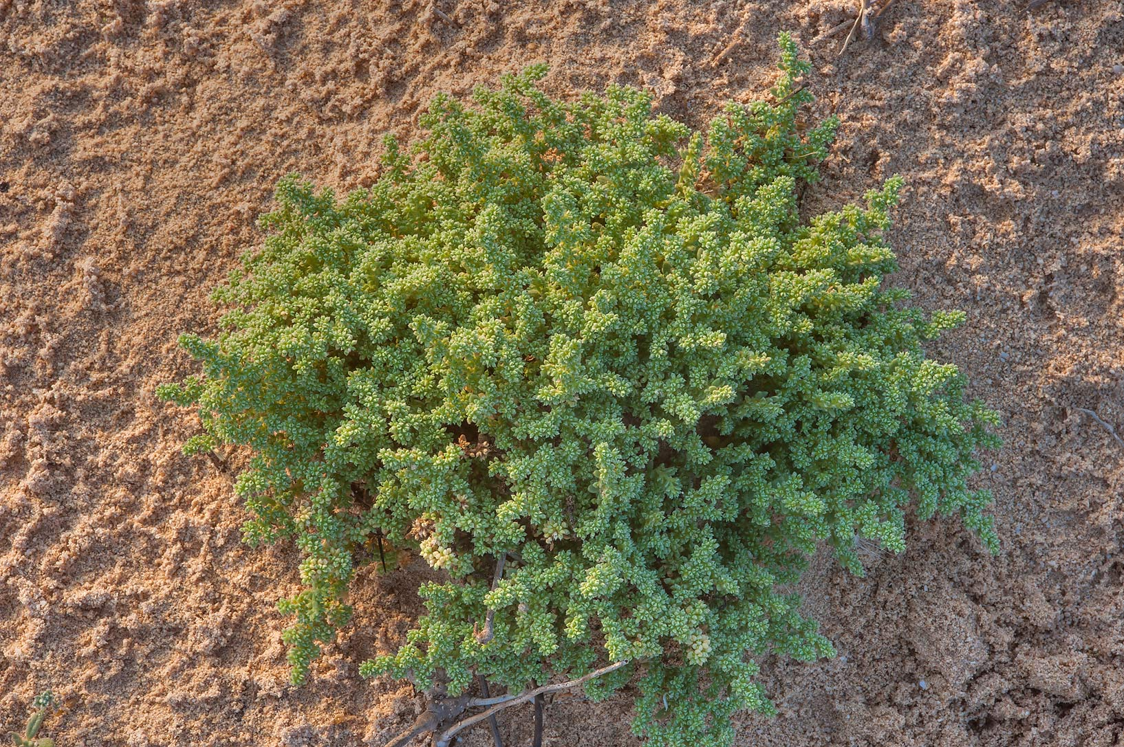 Herniaria hemistemon (local name Ghebayra) on a...of Jebel Fuwairit. Northern Qatar