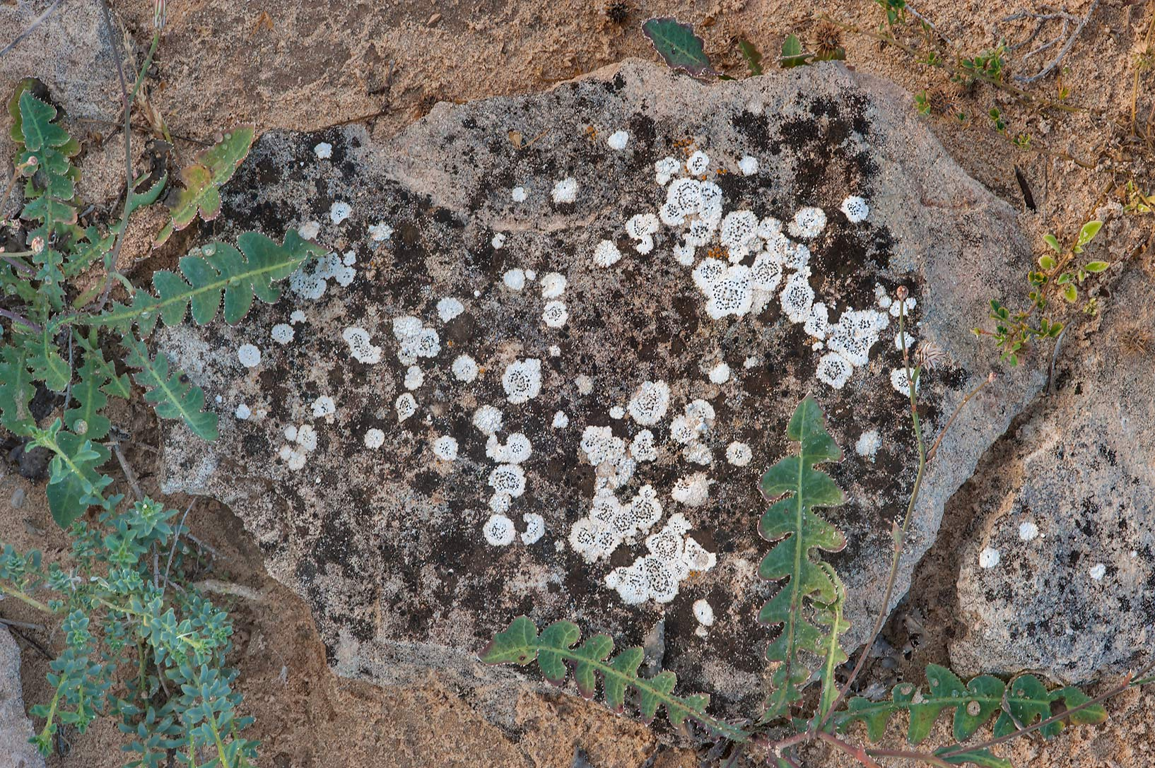 Buellia subalbula (white with black apothecia...of Jebel Fuwairit. Northern Qatar