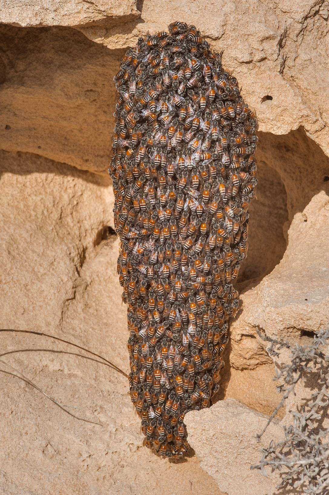 Nest of swarming honey bees on a rocky ridge of Jebel Fuwairit. Northern Qatar
