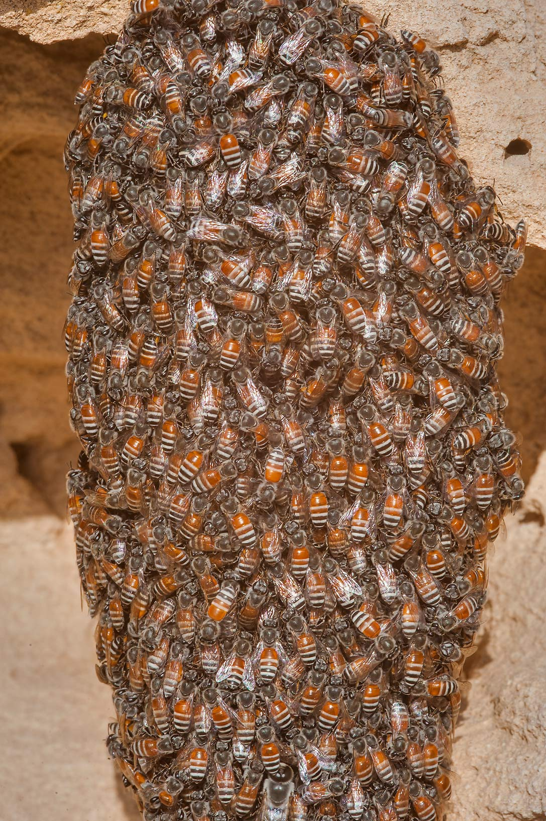 Swarming honey bees on a rocky ridge of Jebel Fuwairit. Northern Qatar