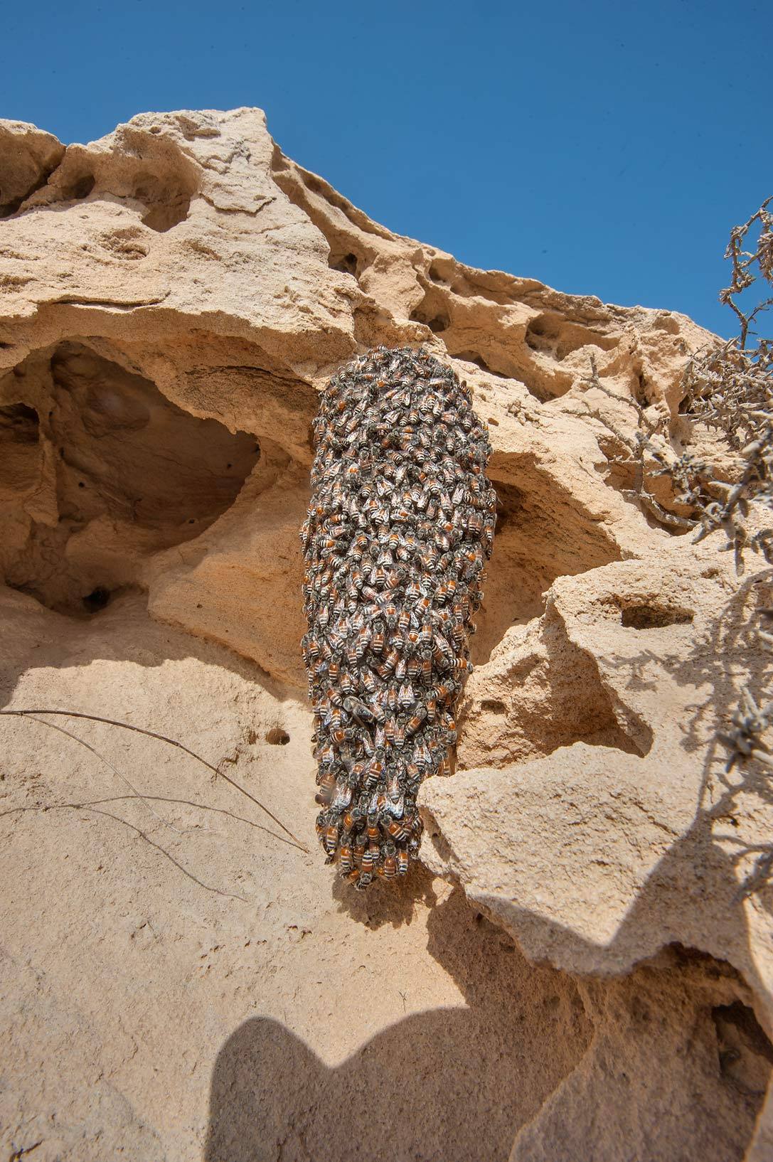 Cluster of swarming honey bees on a rocky ridge of Jebel Fuwairit. Northern Qatar