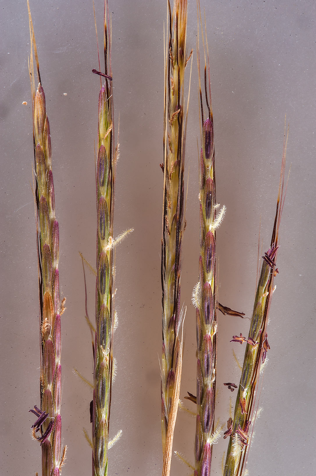photo 177910 grass dichanthium foveolatum taken from