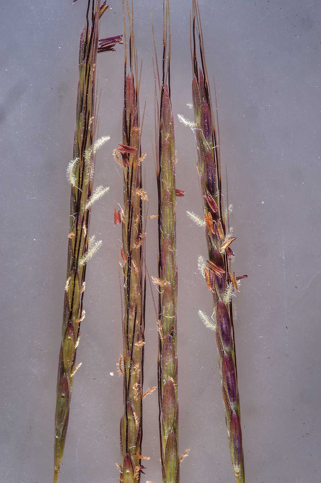 Spikelets of grass Dichanthium foveolatum on a...of Jebel Fuwairit. Northern Qatar