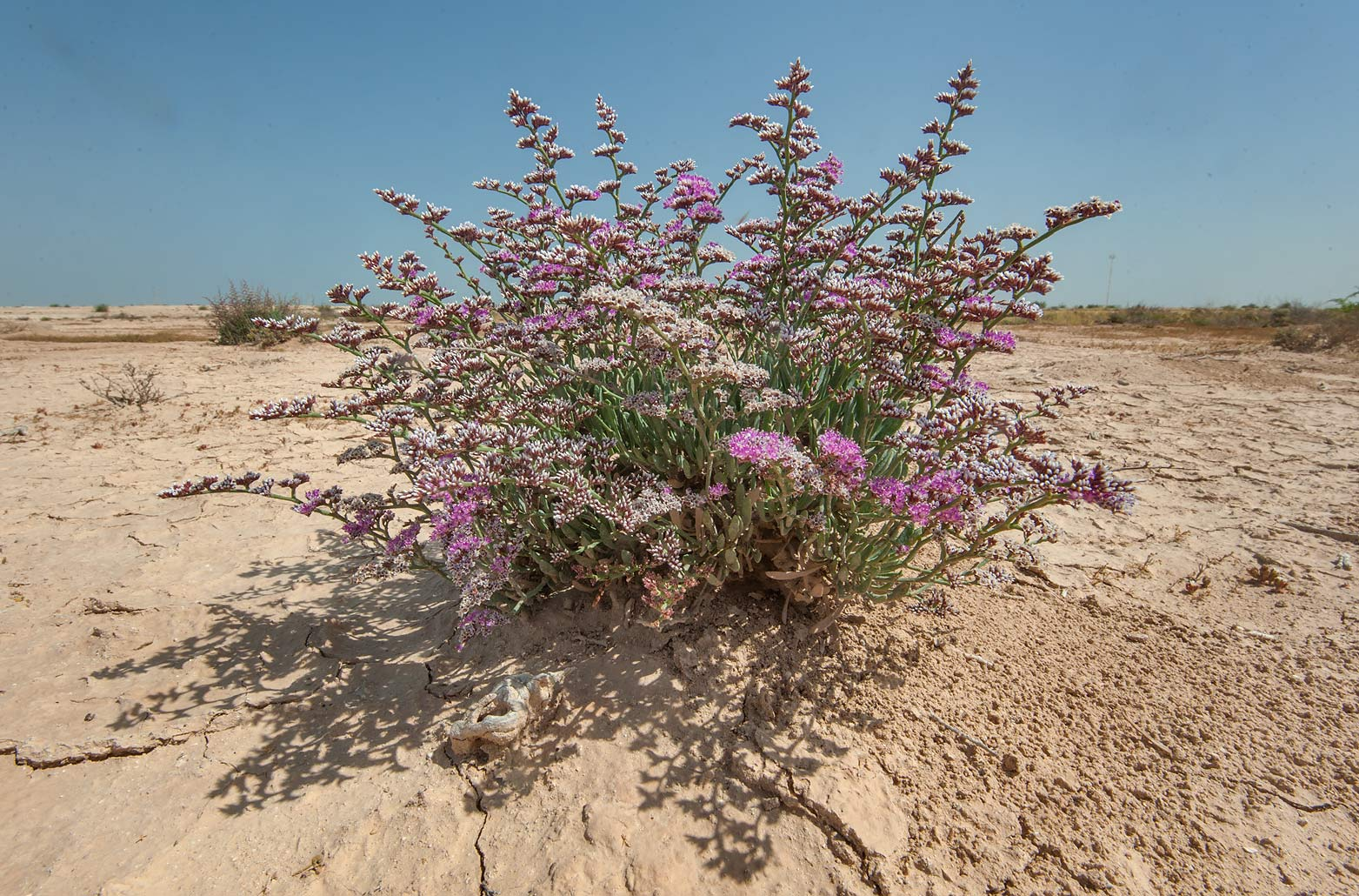 Sea Lavender (Limonium axillare, local name...of Ras Laffan farms. Northern Qatar