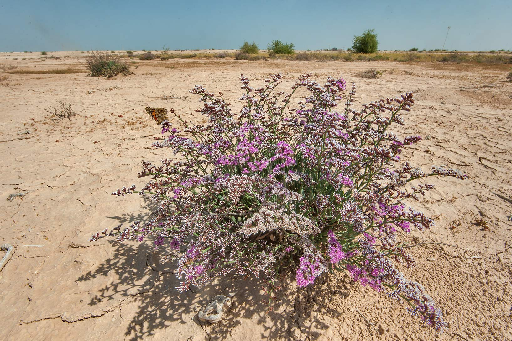Blooming Sea Lavender (Limonium axillare, local...of Ras Laffan farms. Northern Qatar