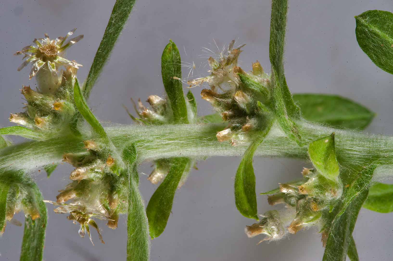 Close up of wandering cudweed (Gnaphalium...Nusaih St. in Onaiza area. Doha, Qatar