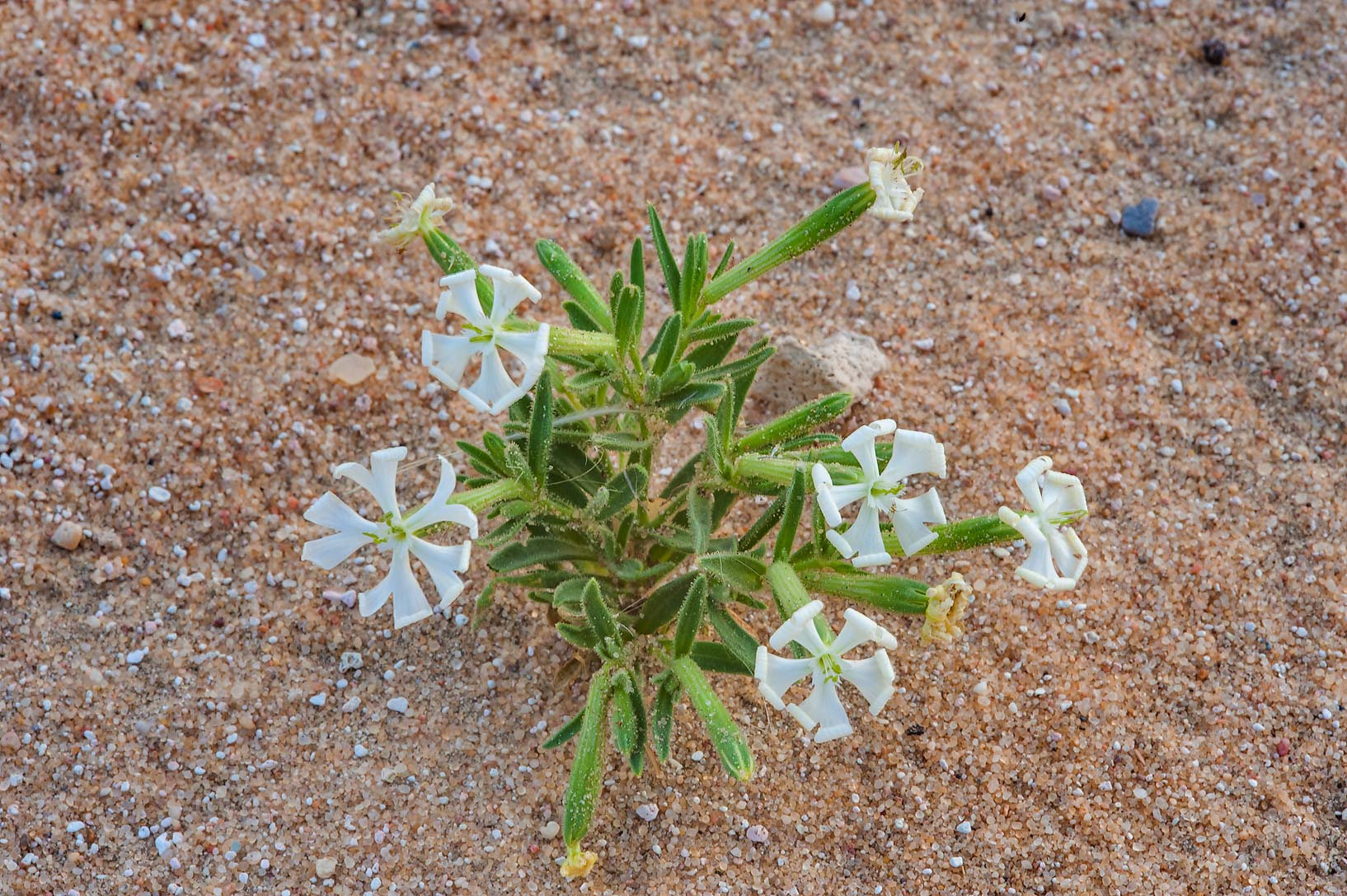 Small blooming plant of Desert Campion (Silene...of Khashem Al Nekhsh. Southern Qatar
