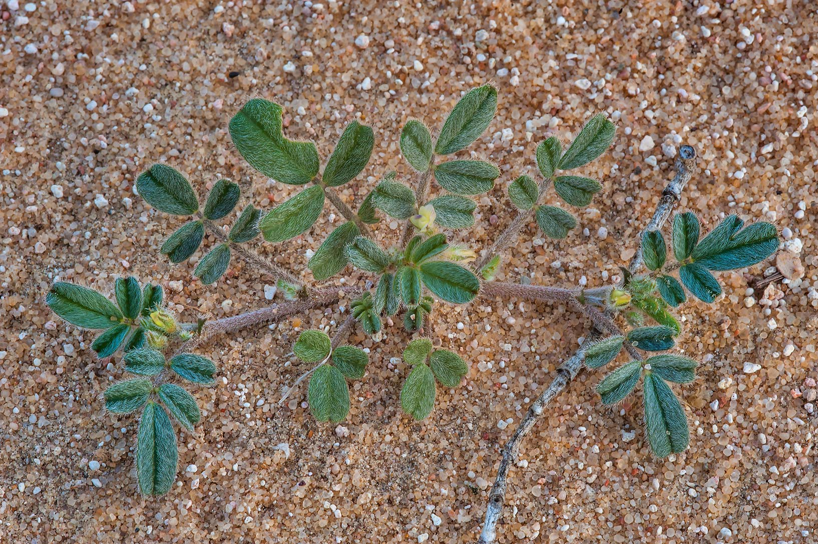 Hairy leaves and yellow flowers of milkvetch...of Khashem Al Nekhsh. Southern Qatar