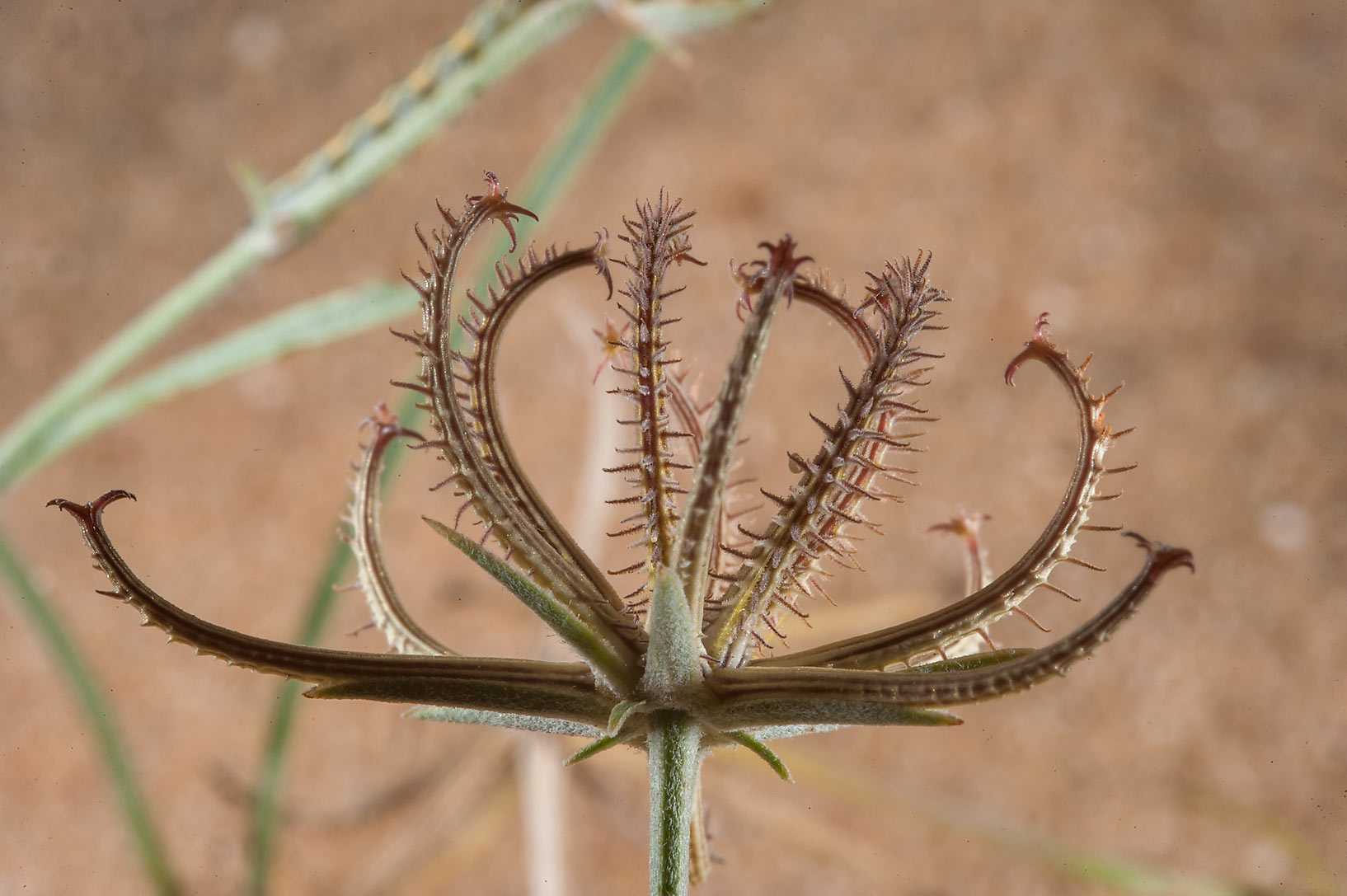 Brownish claw shaped seed pod of Goat's beard...of Khashem Al Nekhsh. Southern Qatar