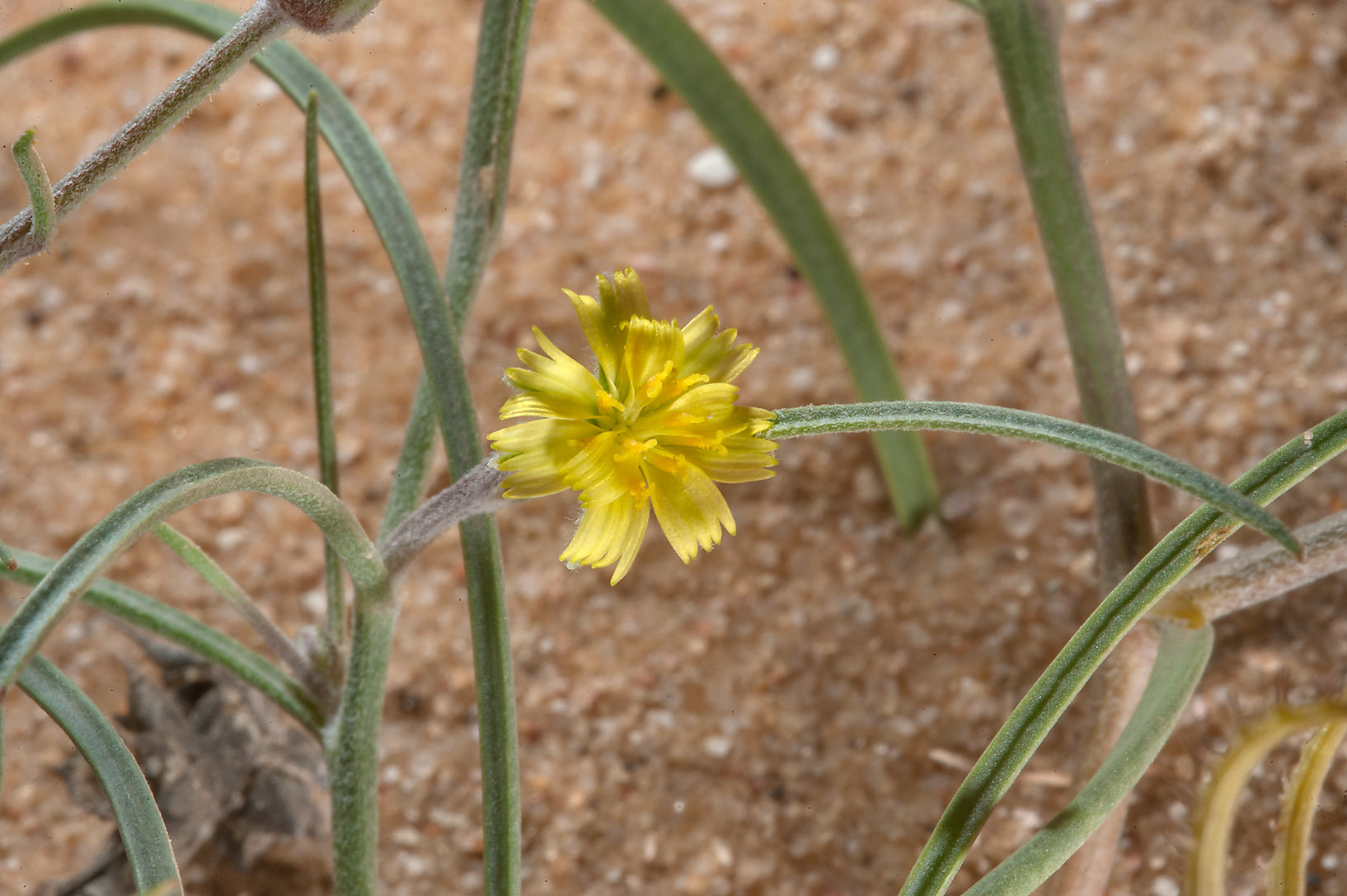 Small yellow flower of a plant Koelpinia linearis...of Khashem Al Nekhsh. Southern Qatar