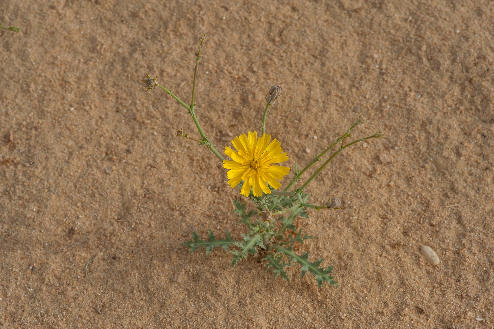 Small plant of Launaea mucronata (local name Huwa...of Khashem Al Nekhsh. Southern Qatar