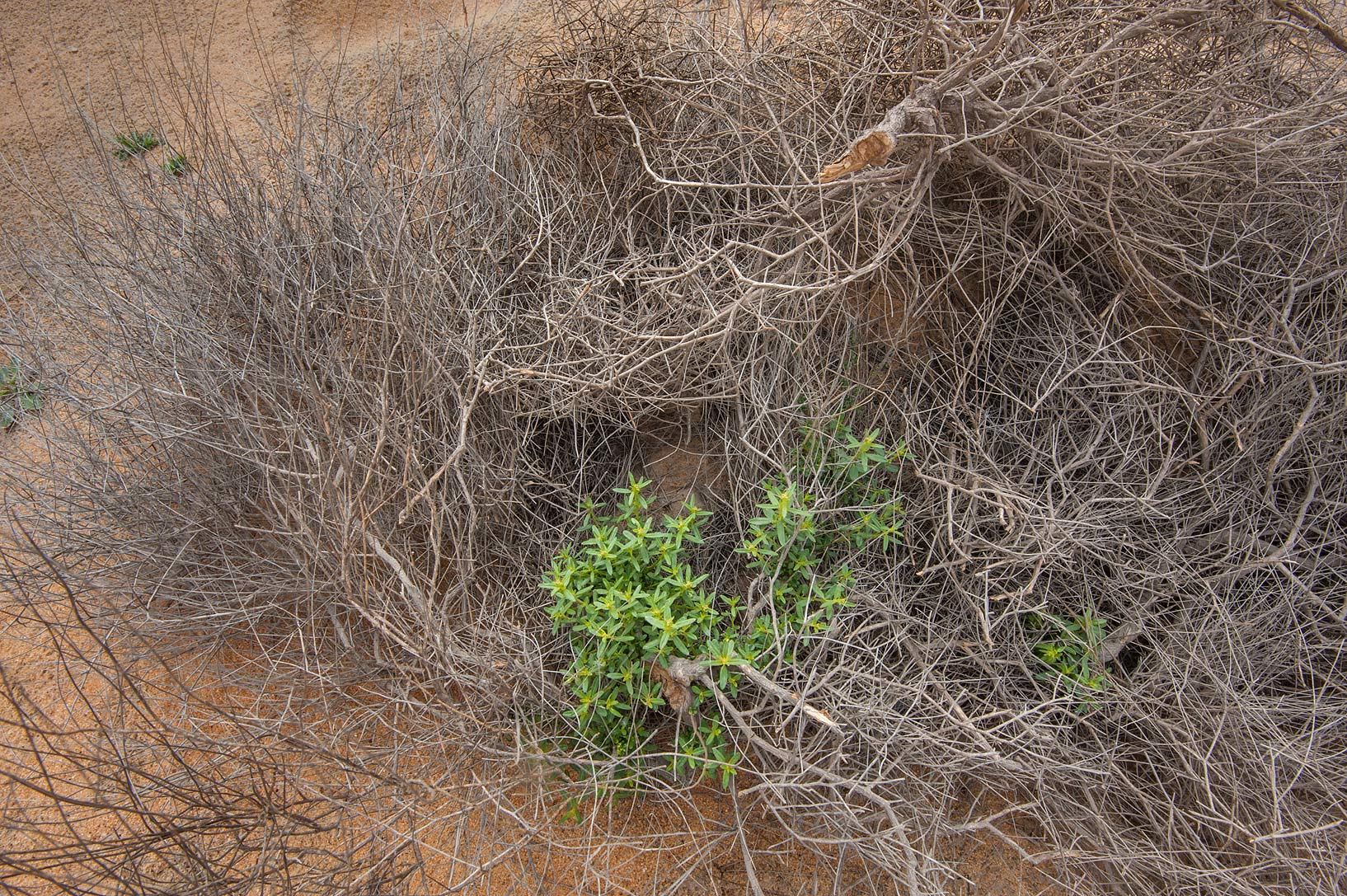 Fresh shoots and a dry plant of Dipterygium...Reserve near Abu Samra. Southern Qatar