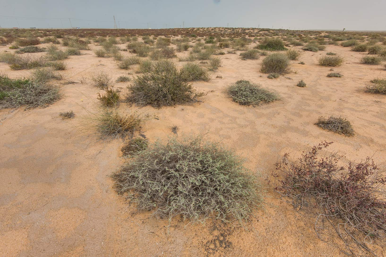 Vegetation on sand dunes near the spring in...Reserve near Abu Samra. Southern Qatar