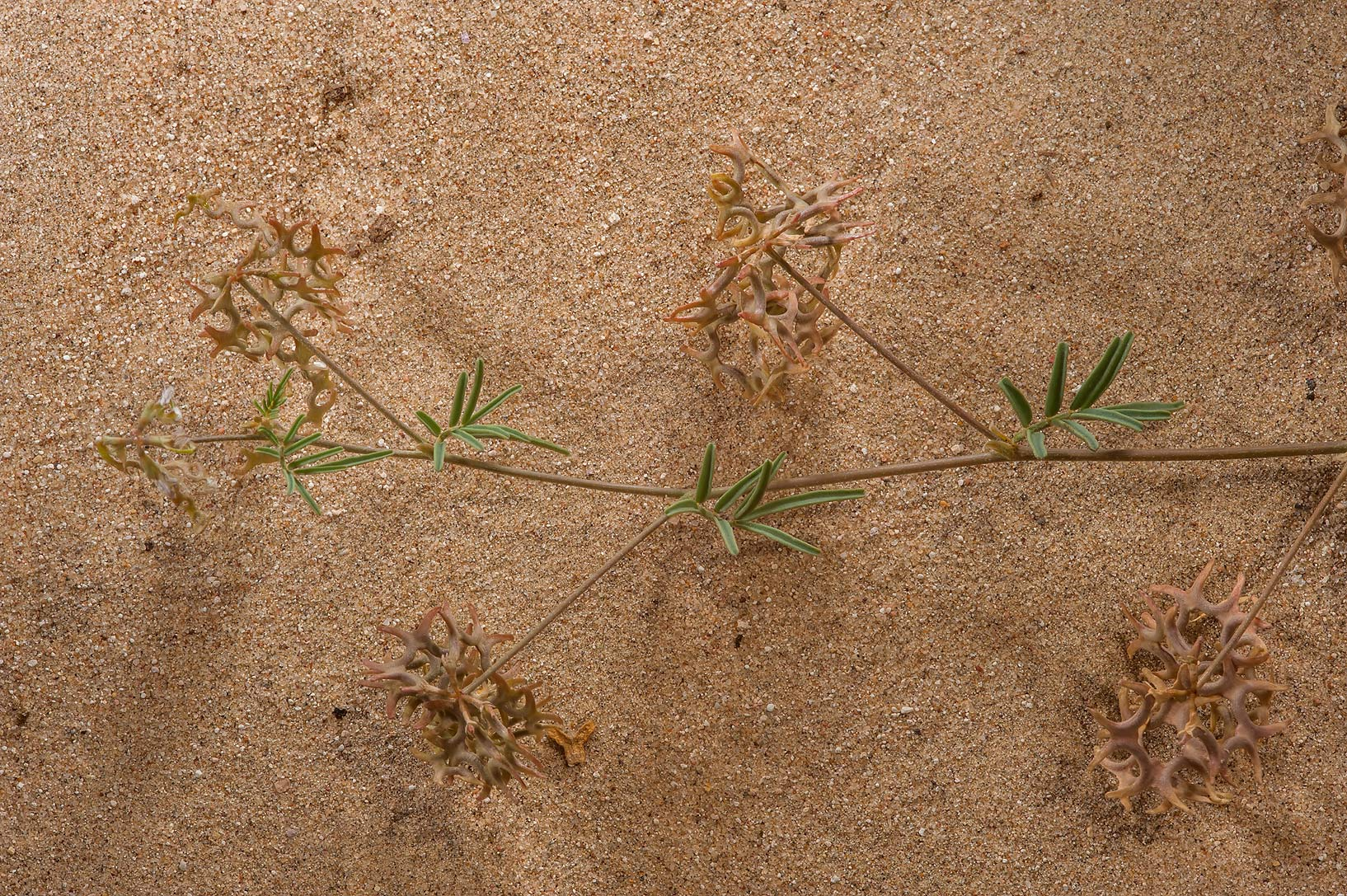 Shoot of Horseshoe vetch (Hippocrepis bicontorta...of Khashem Al Nekhsh. Southern Qatar