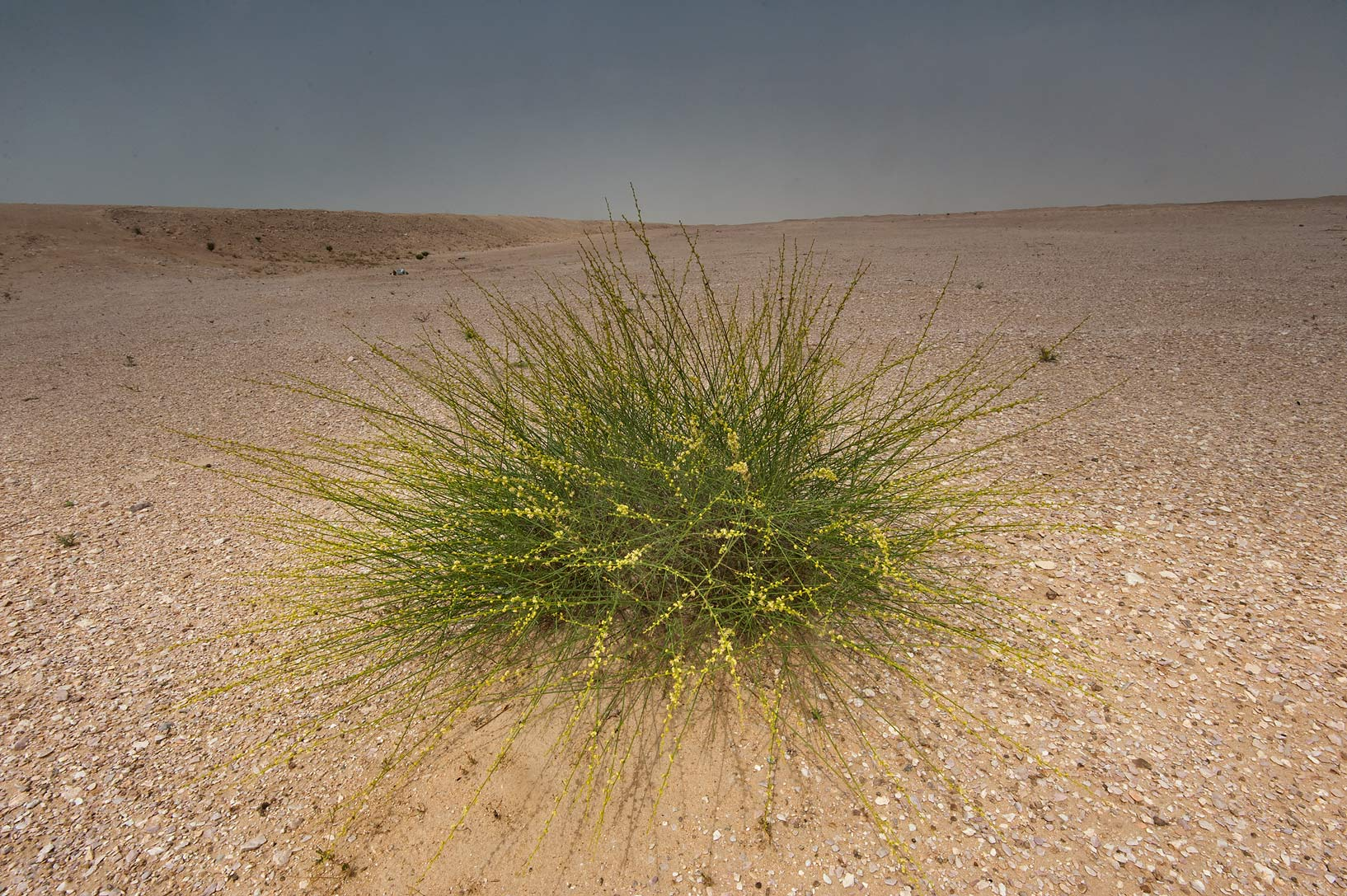 Isolated bush of Ochradenus aucheri on roadside of a road to Sawda Natheel. Southern Qatar