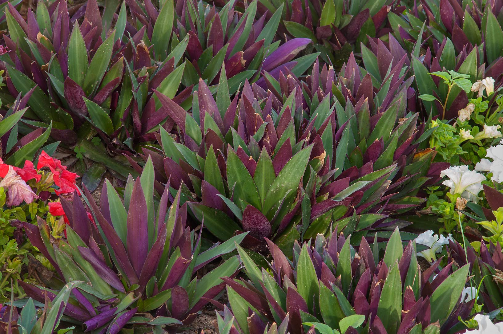 Dark red rosettes of leaves of boat lily...Park at Al Markhiya St.. Doha, Qatar