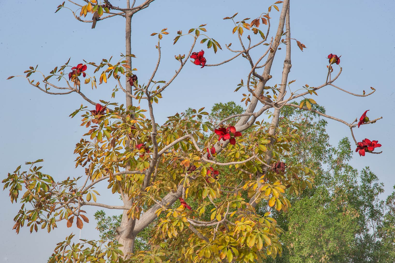 Red cotton tree (Bombax ceiba) in Dahl Al Hamam Park at Al Markhiya St.. Doha, Qatar