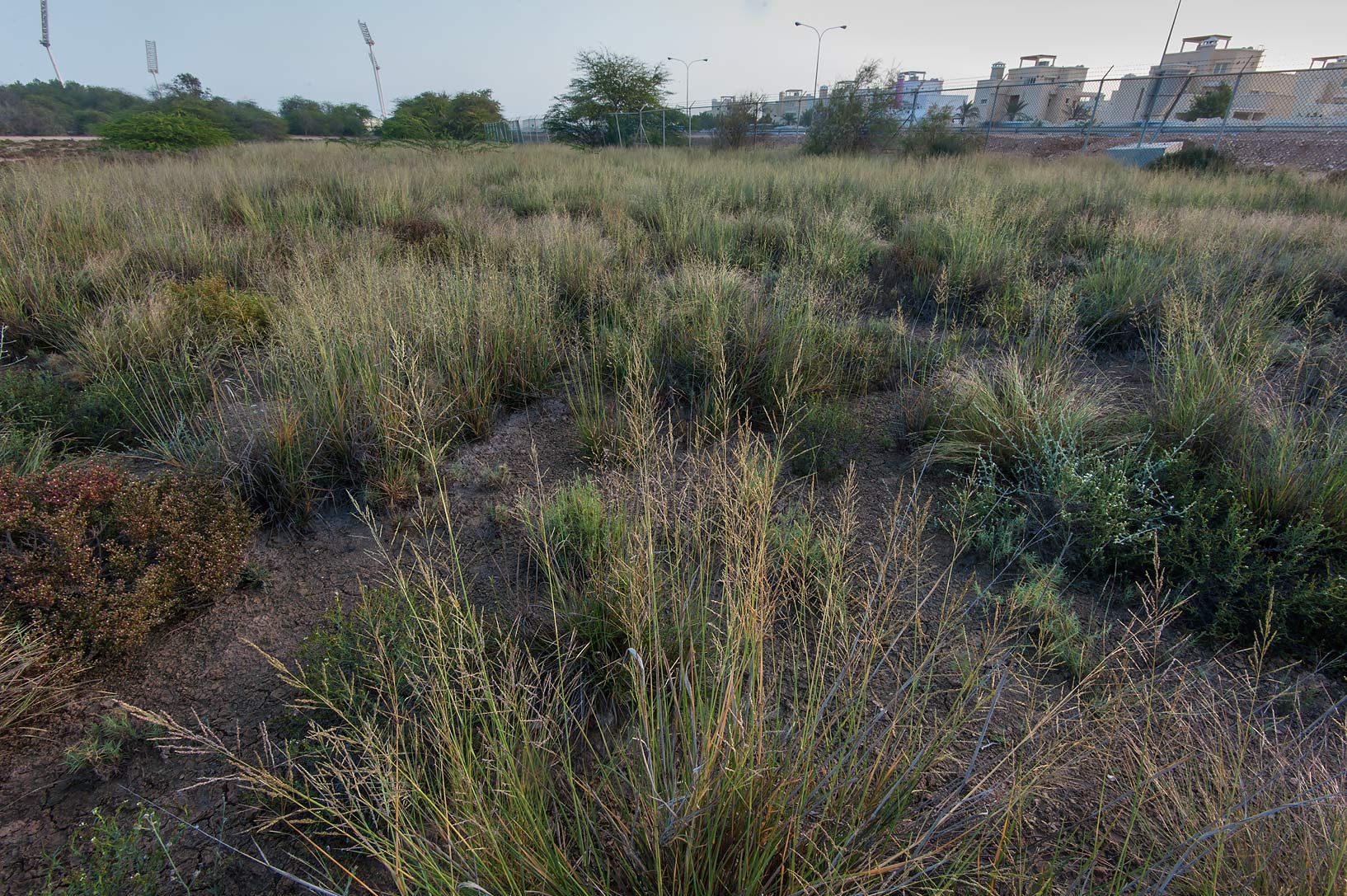 Pan dropseed grass (Sporobolus ioclados) in a park of Qatar University. Doha, Qatar