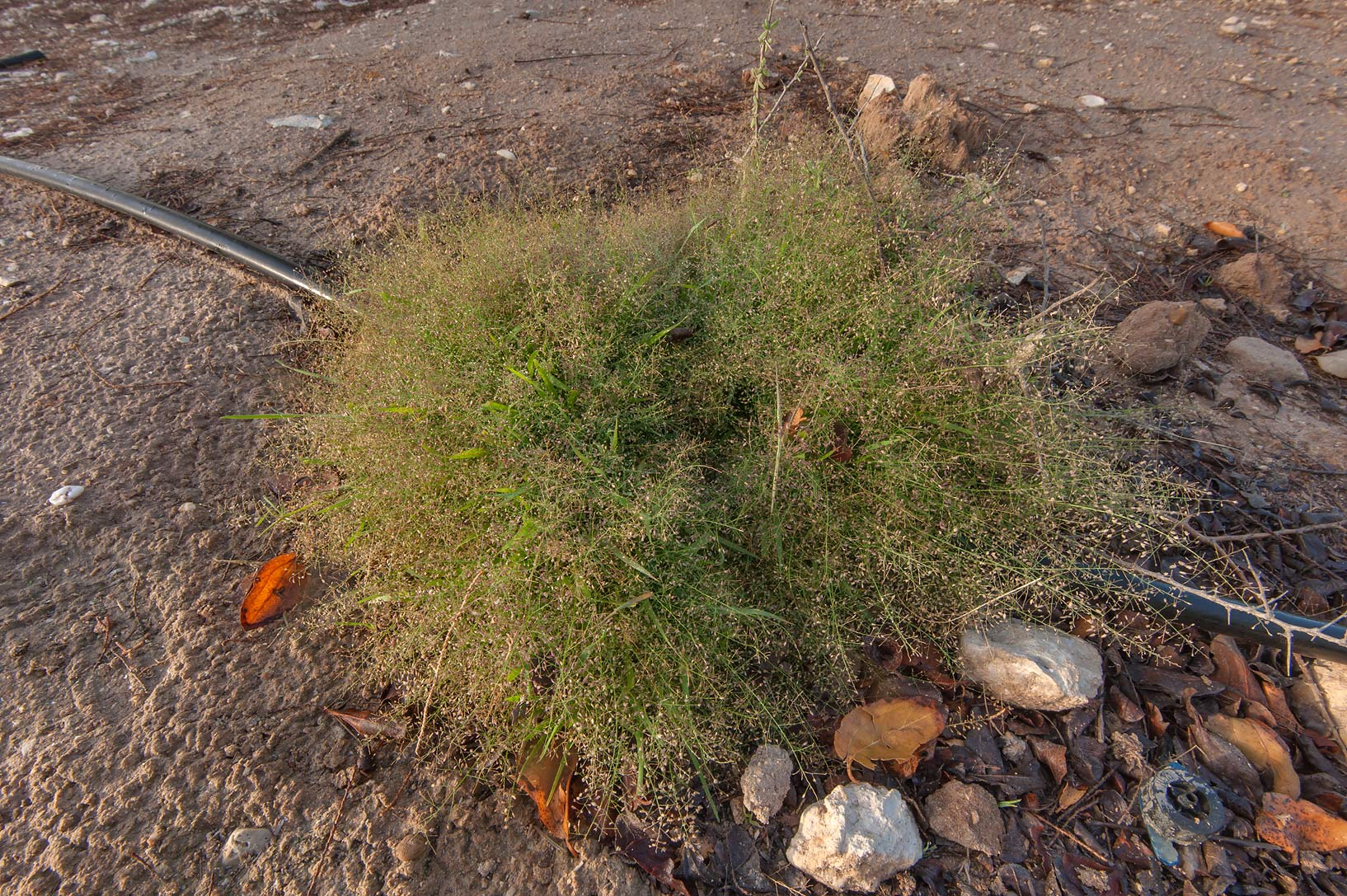 Indian love grass (Eragrostis pilosa) near a...park of Qatar University. Doha, Qatar