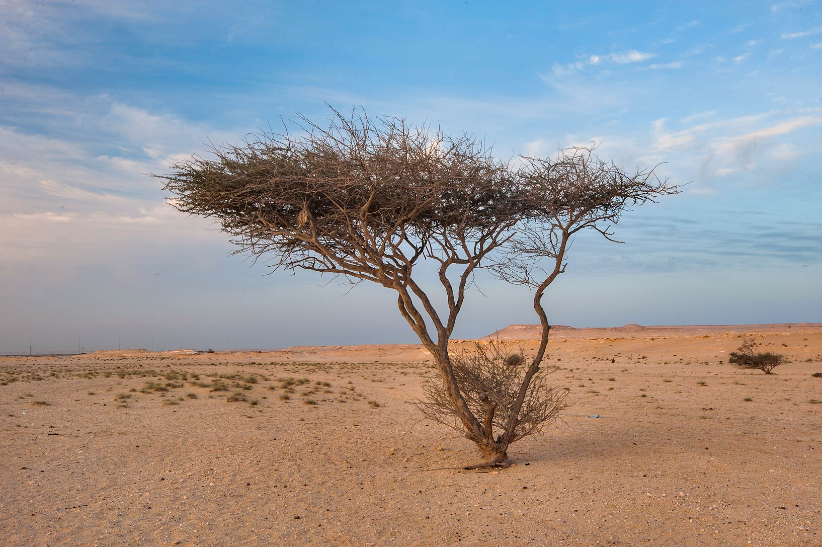 Acacia tortilis in a desert in area of Jebel Al...Khashm an Nakhsh). South-western Qatar