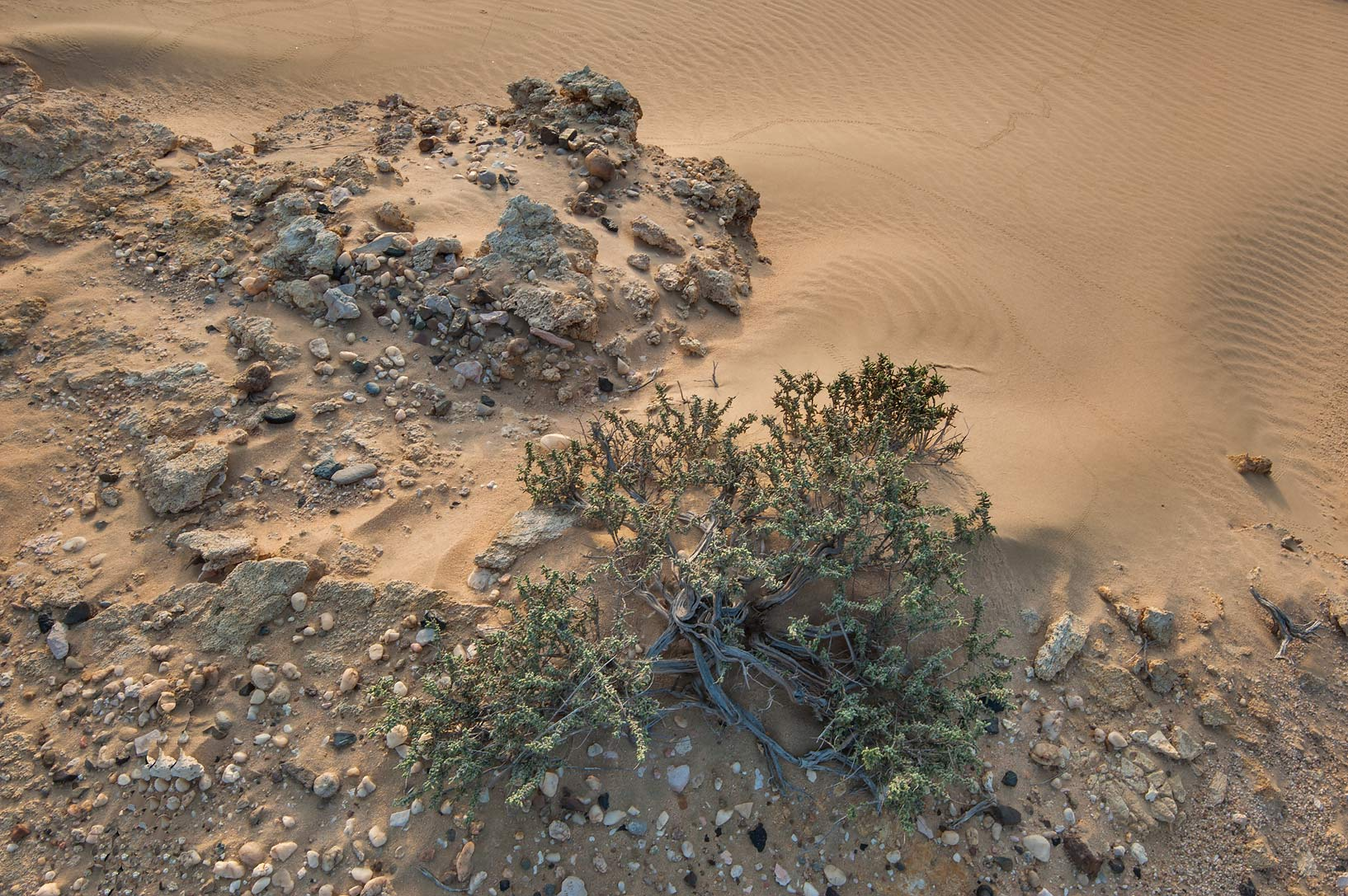 Salsola cyclophylla on an edge of a stone plateau...Khashm an Nakhsh). South-western Qatar