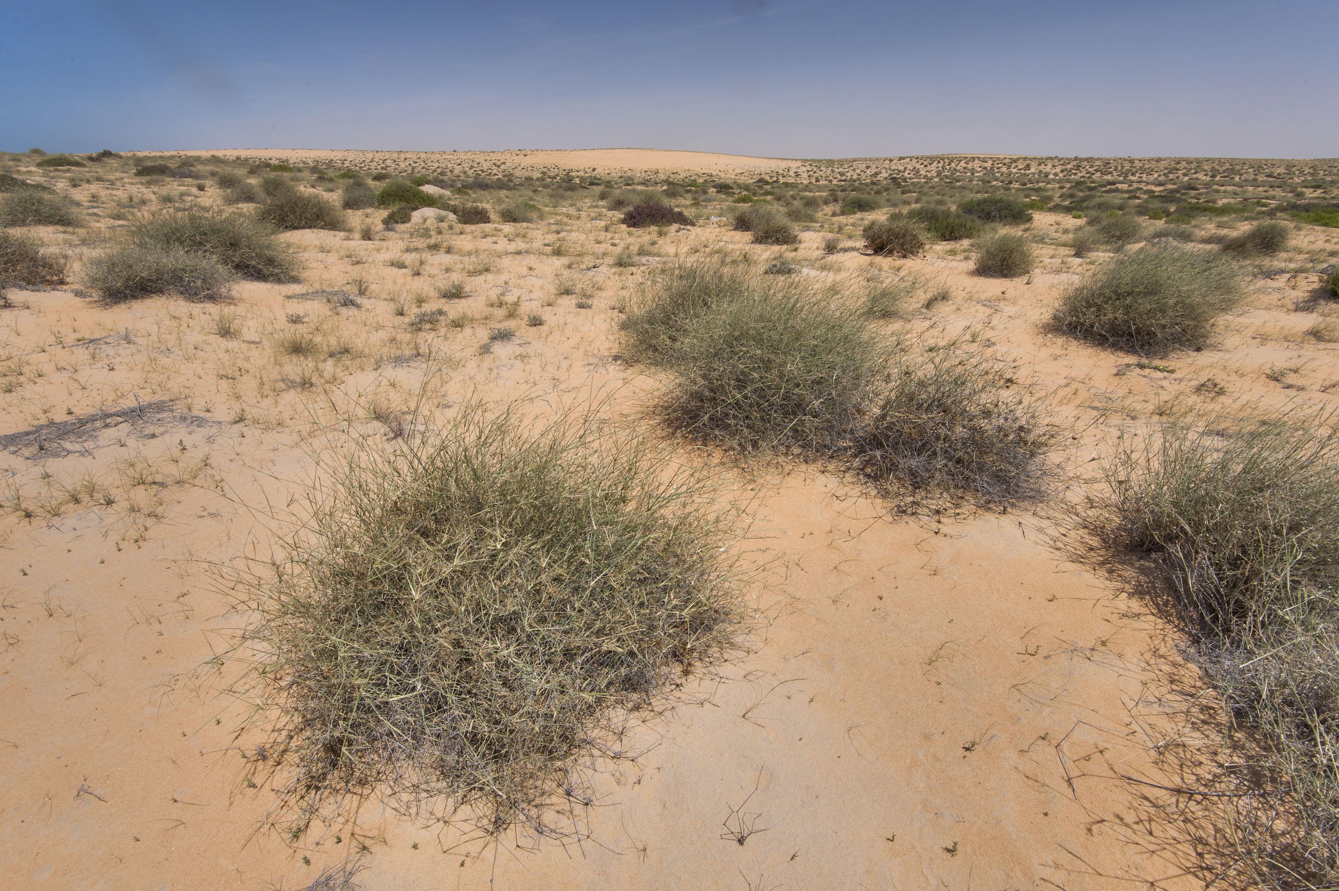 photo 1789 18 desert grass panicum turgidum in maszhabiya. Black Bedroom Furniture Sets. Home Design Ideas