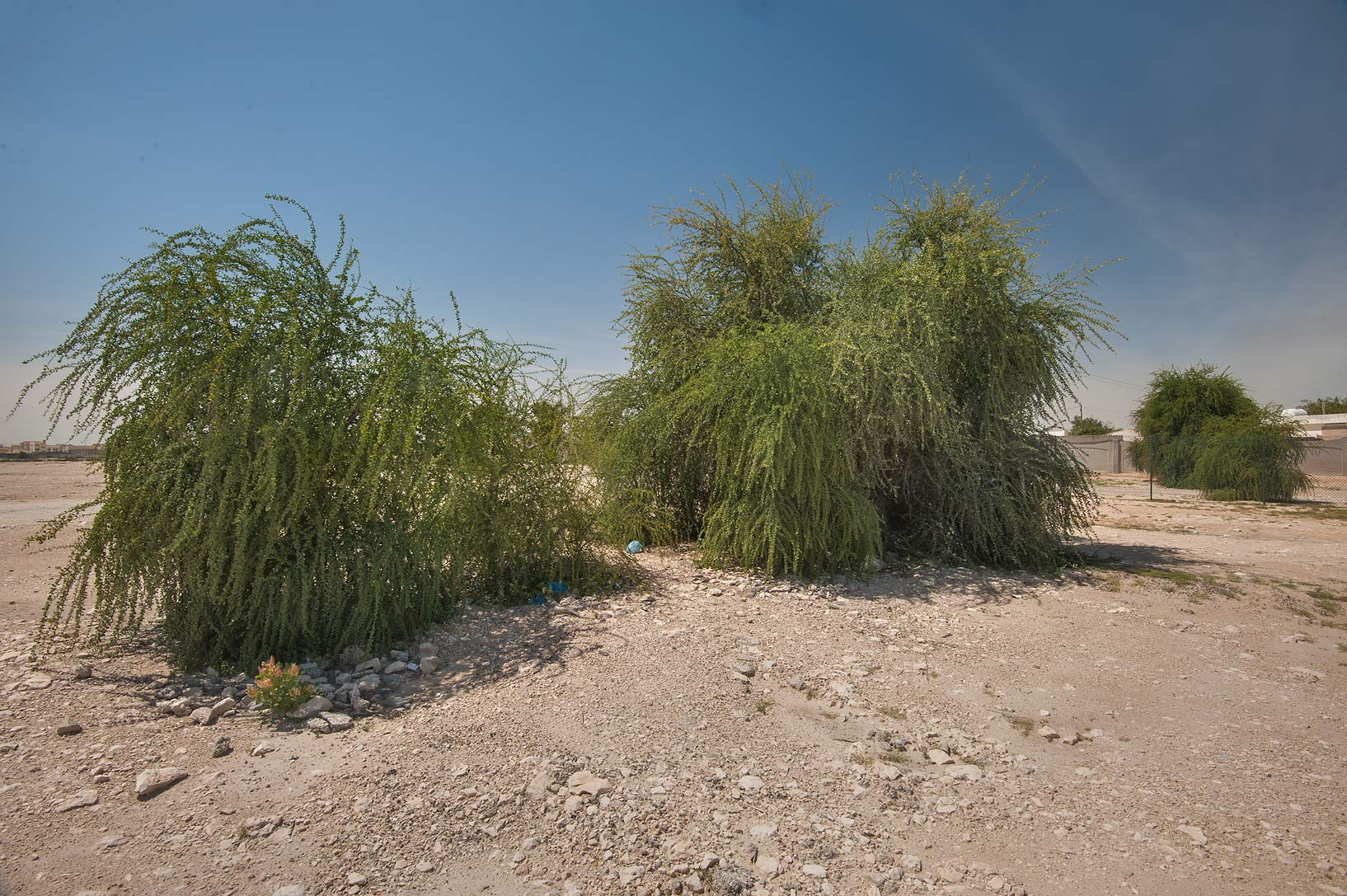 Desert date (Balanites aegyptiaca) on roadside of...housing south-west from Doha. Qatar