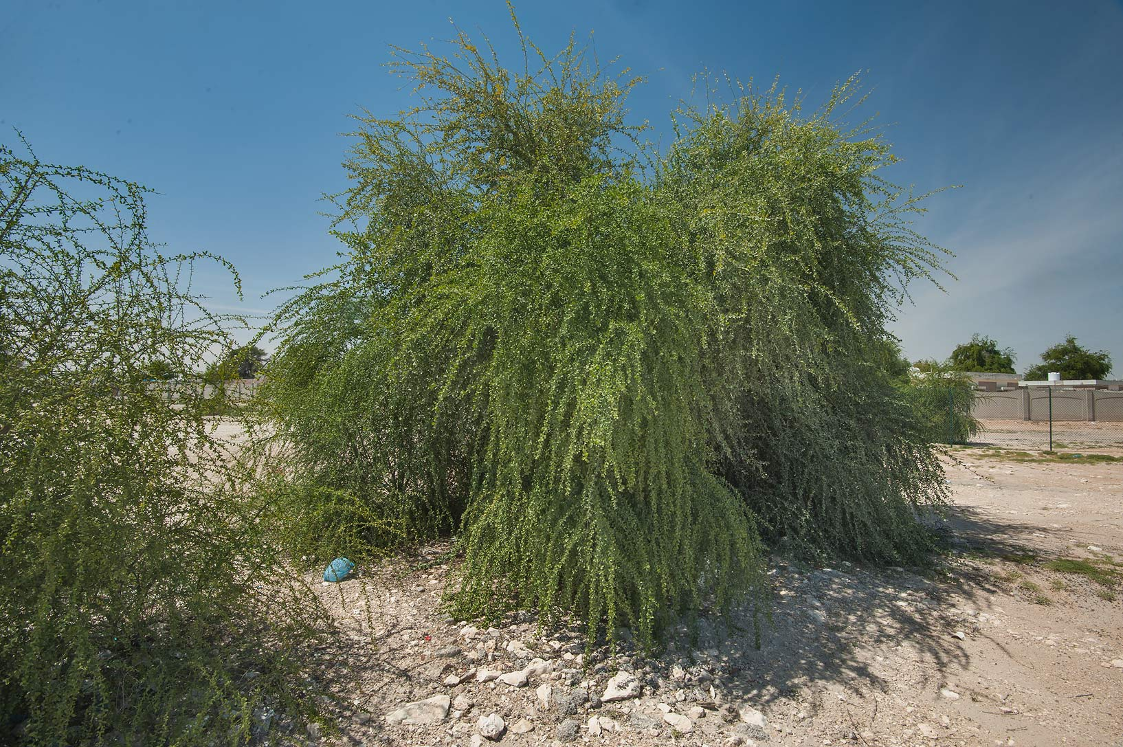 Desert date tree (Balanites aegyptiaca) on...housing south-west from Doha. Qatar