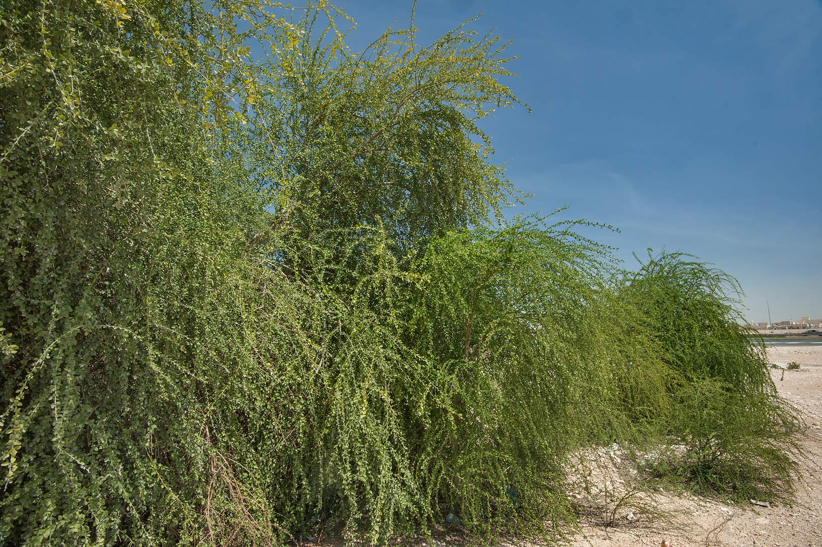 Foliage of desert date (Balanites aegyptiaca) on...housing south-west from Doha. Qatar