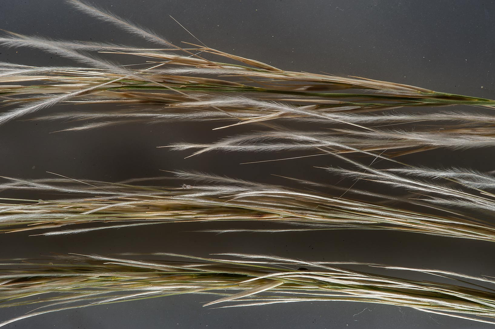 Close up of grass Stipagrostis obtusa taken from...Khashm an Nakhsh). South-western Qatar