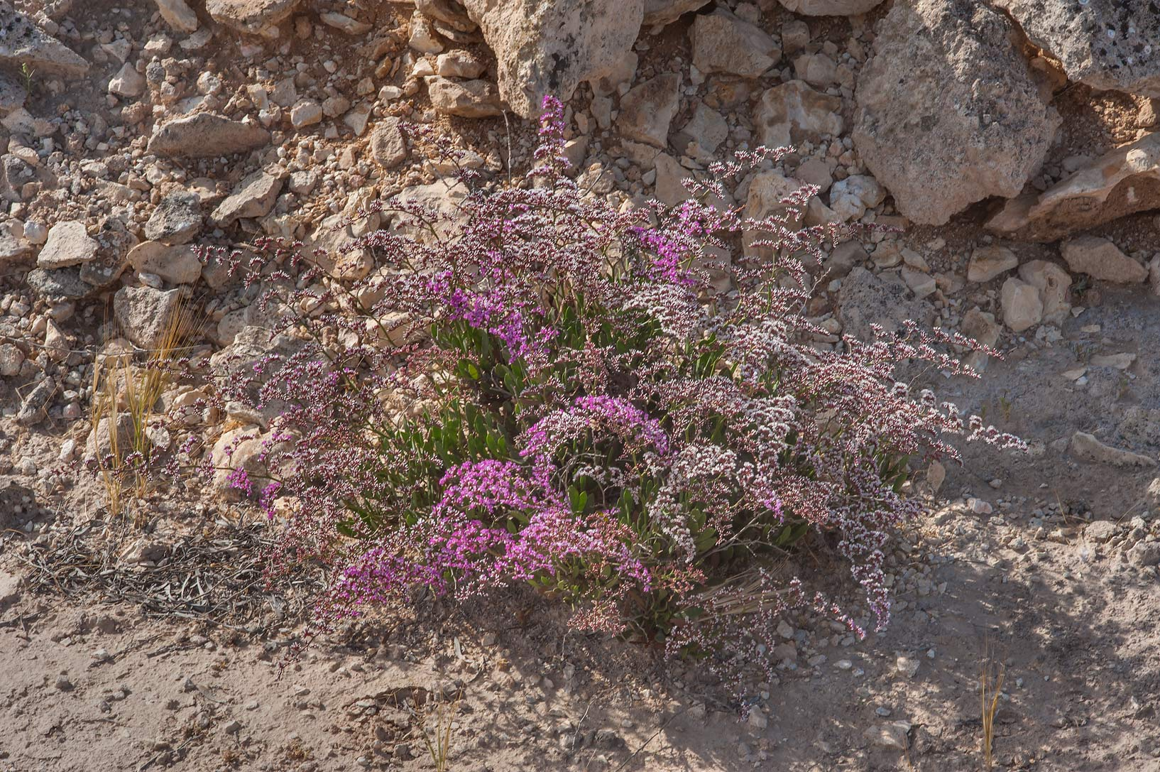 Blooming sea lavender (Qetaif, Limonium axillare...on north-eastern coast. Qatar