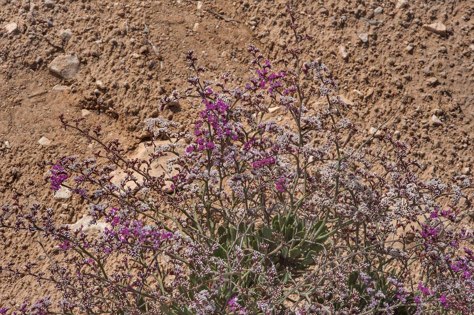 Flowers of sea lavender (Qetaif, Limonium...on north-eastern coast. Qatar