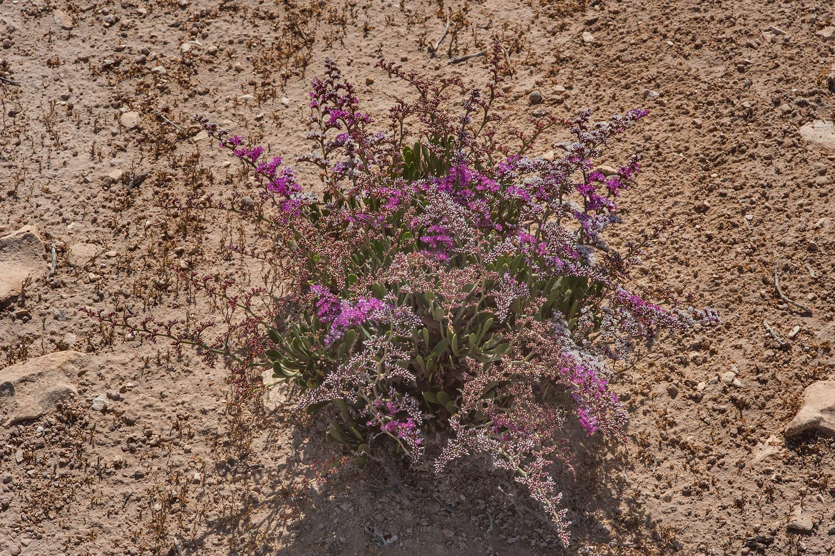 Sea lavender (Qetaif, Limonium axillare) in bloom...on north-eastern coast. Qatar