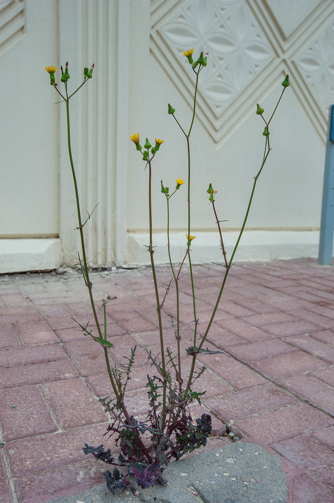 Smooth sow thistle (Sonchus oleraceus) on...Sham St. in Onaiza area. Doha, Qatar