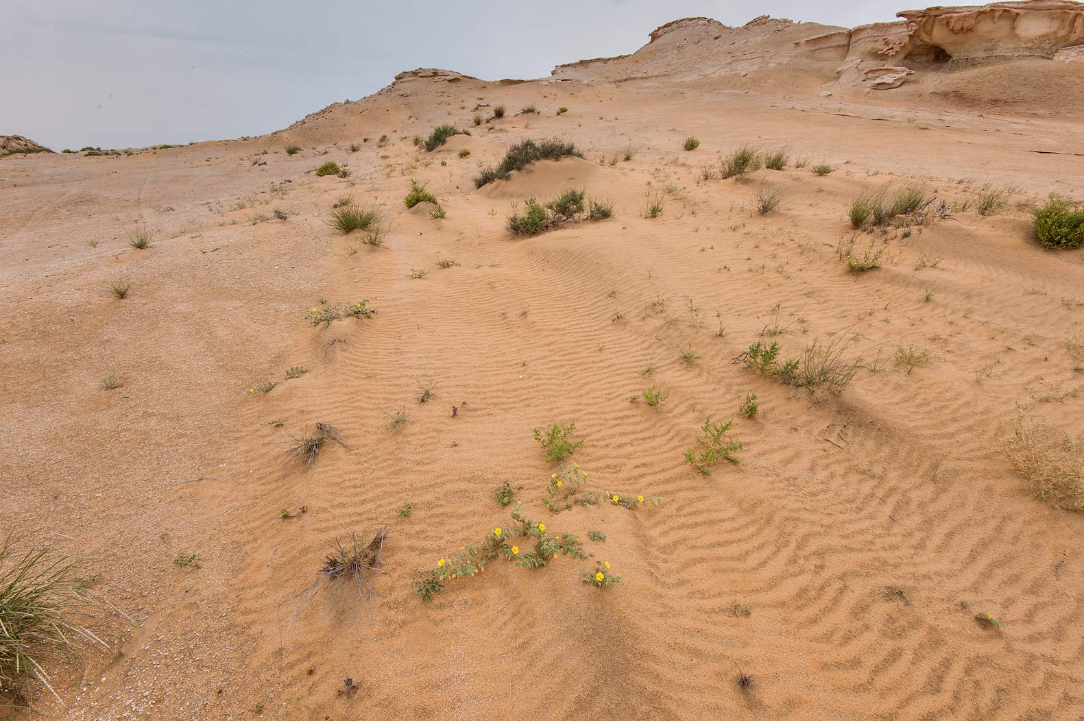 Habitat of the plant Agriophyllum minus on...Reserve near Abu Samra. Southern Qatar