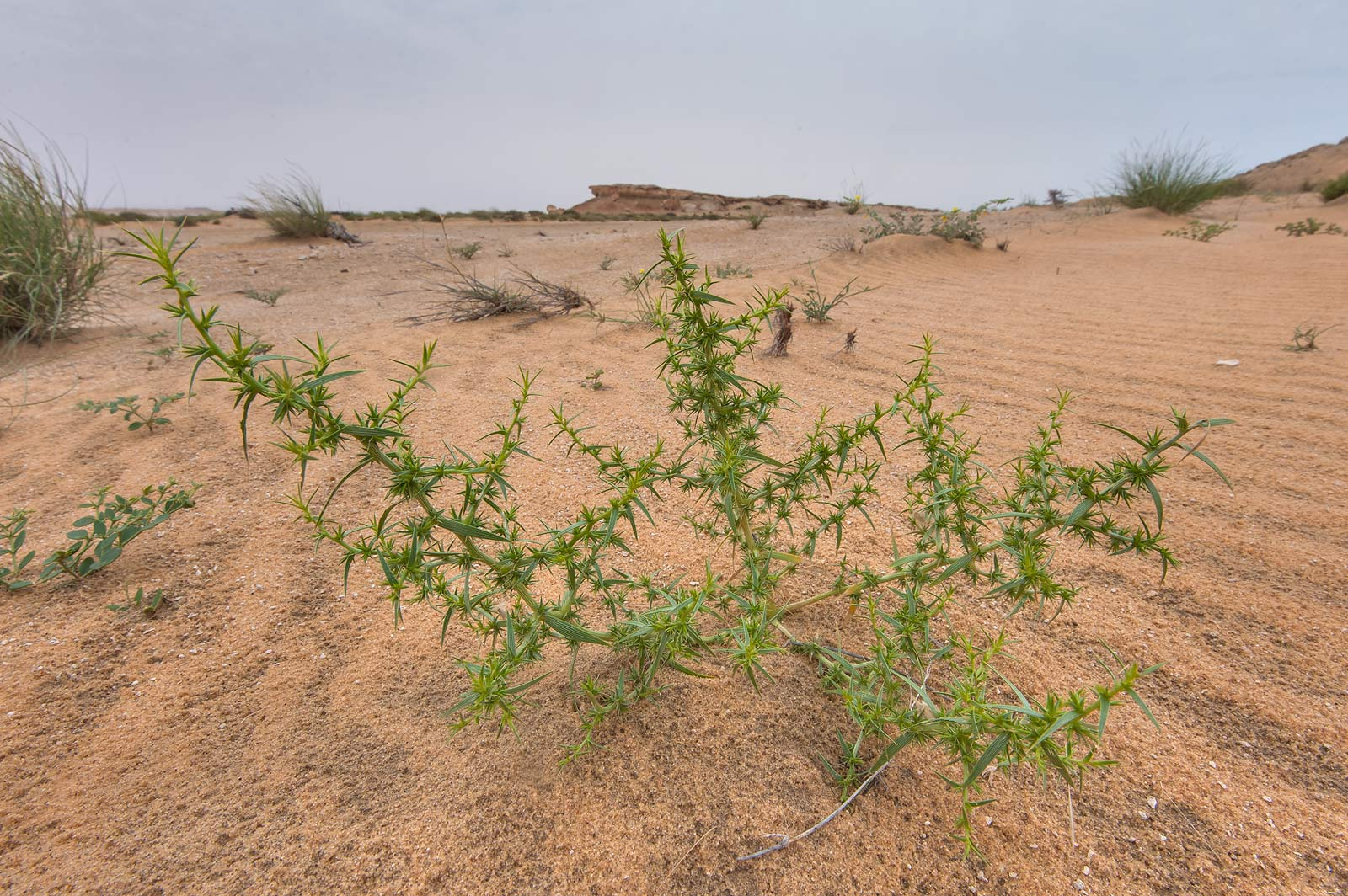 Plant of Agriophyllum minus on sand at the foot...Reserve near Abu Samra. Southern Qatar