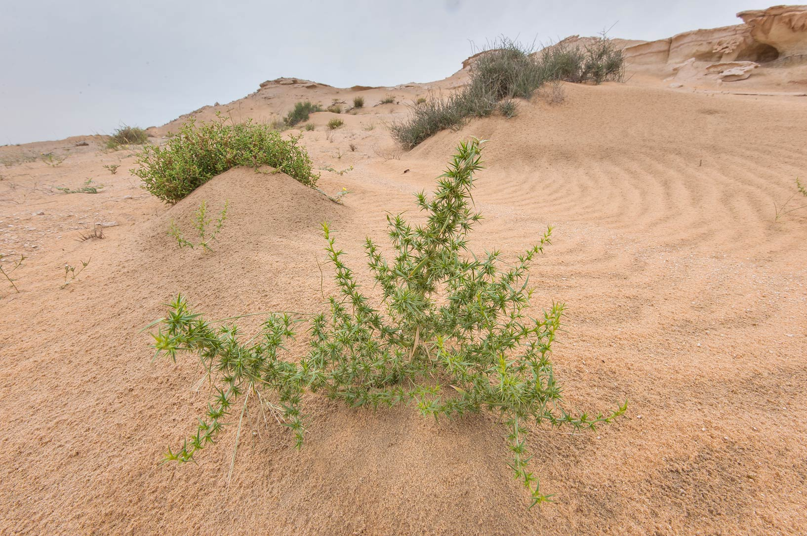 Plant of Agriophyllum minus on windblown sand in...Reserve near Abu Samra. Southern Qatar