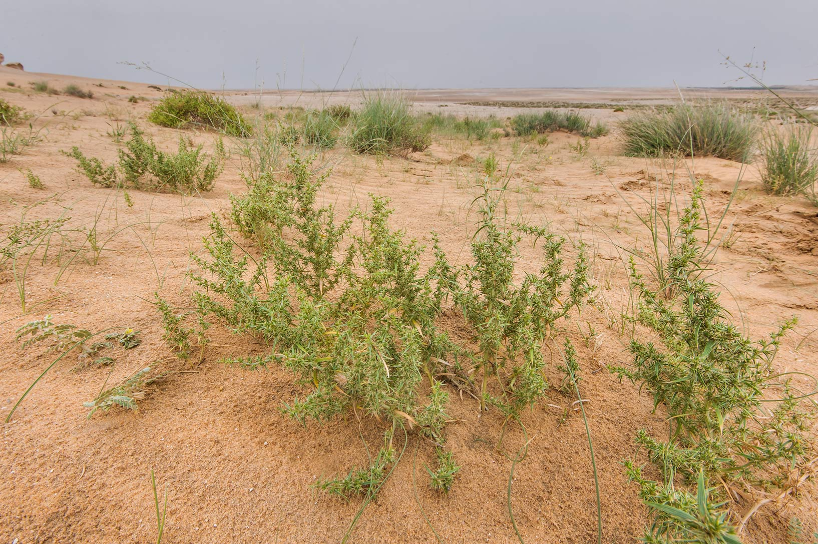 Group of plants of Agriophyllum minus on...Reserve near Abu Samra. Southern Qatar
