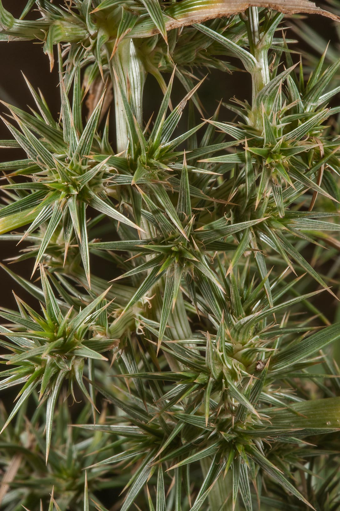 Close up of leaves of Agriophyllum minus in...Reserve near Abu Samra. Southern Qatar