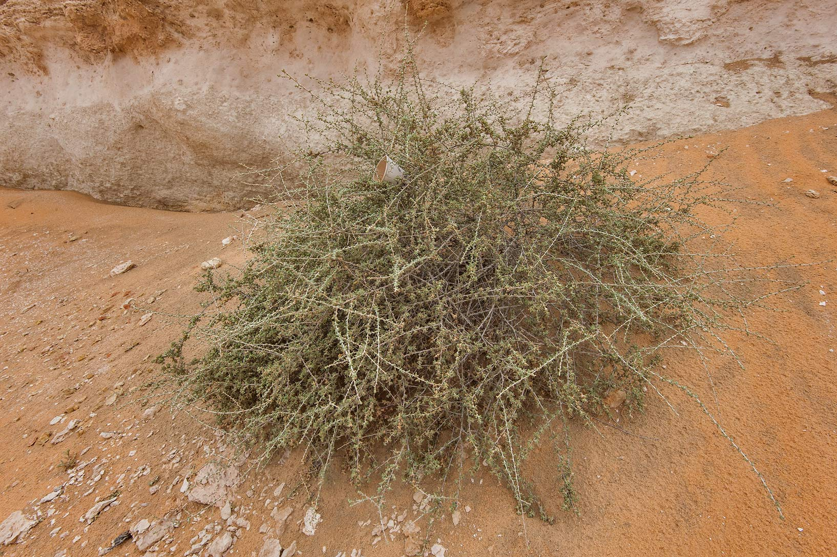 Bush of Traganum nudatum (local name dumran...Reserve near Abu Samra. Southern Qatar