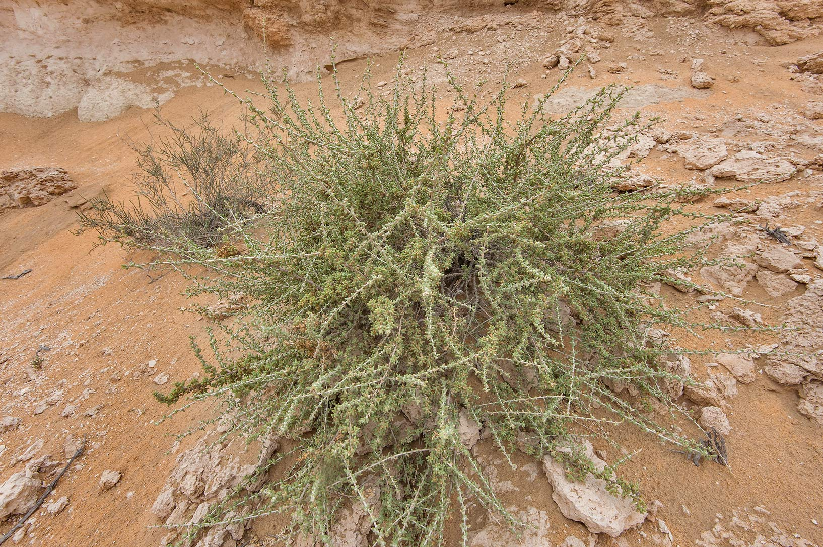 Grey bush of Traganum nudatum (local name dumran...Reserve near Abu Samra. Southern Qatar