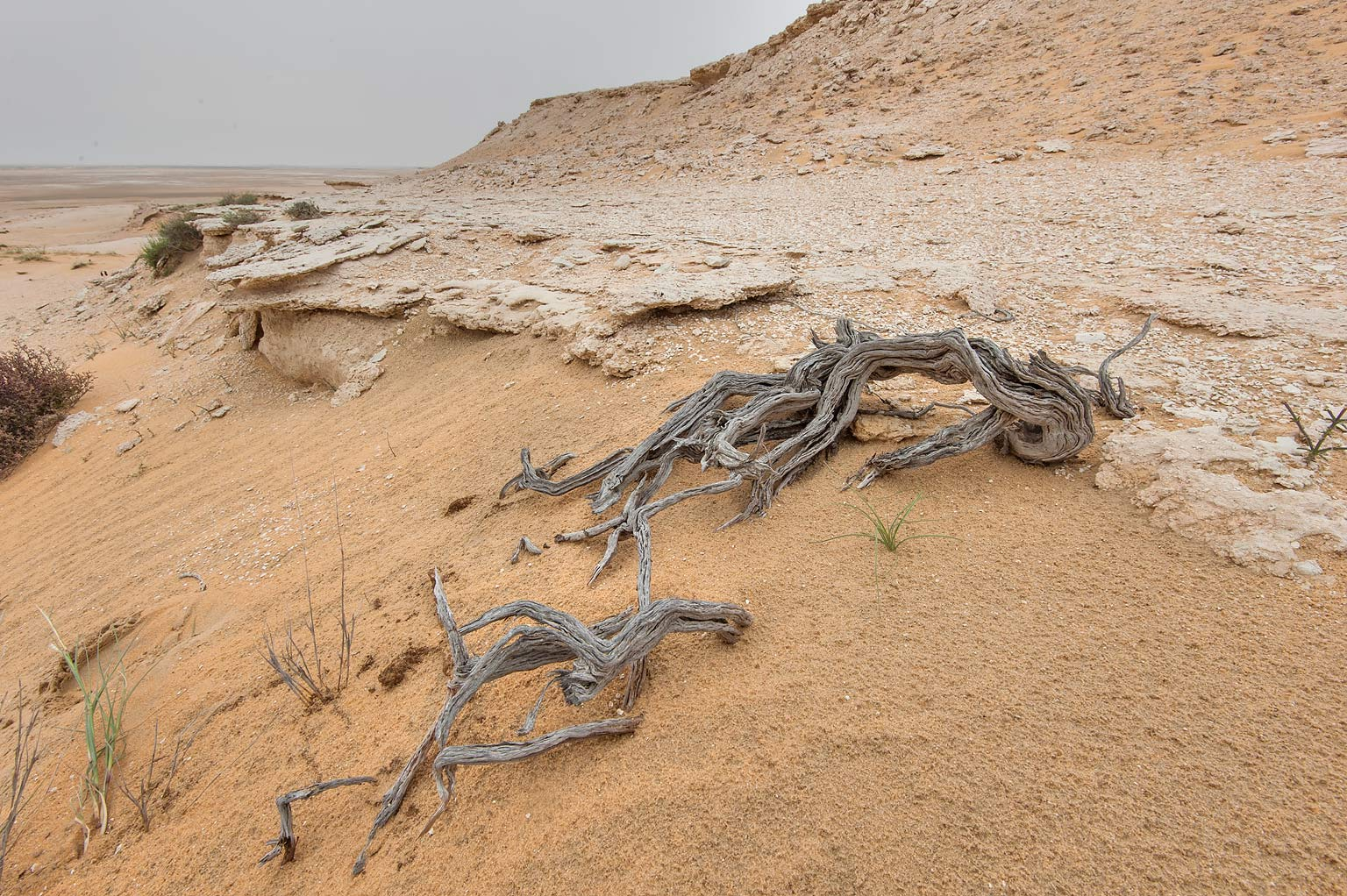 Weathered wood on the slope of a limestone hill...Reserve near Abu Samra. Southern Qatar