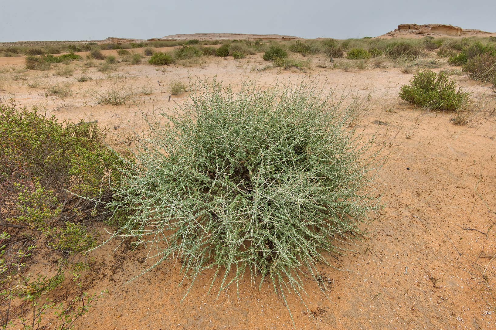 Bush of Traganum nudatum (local name dumran) on...Reserve near Abu Samra. Southern Qatar