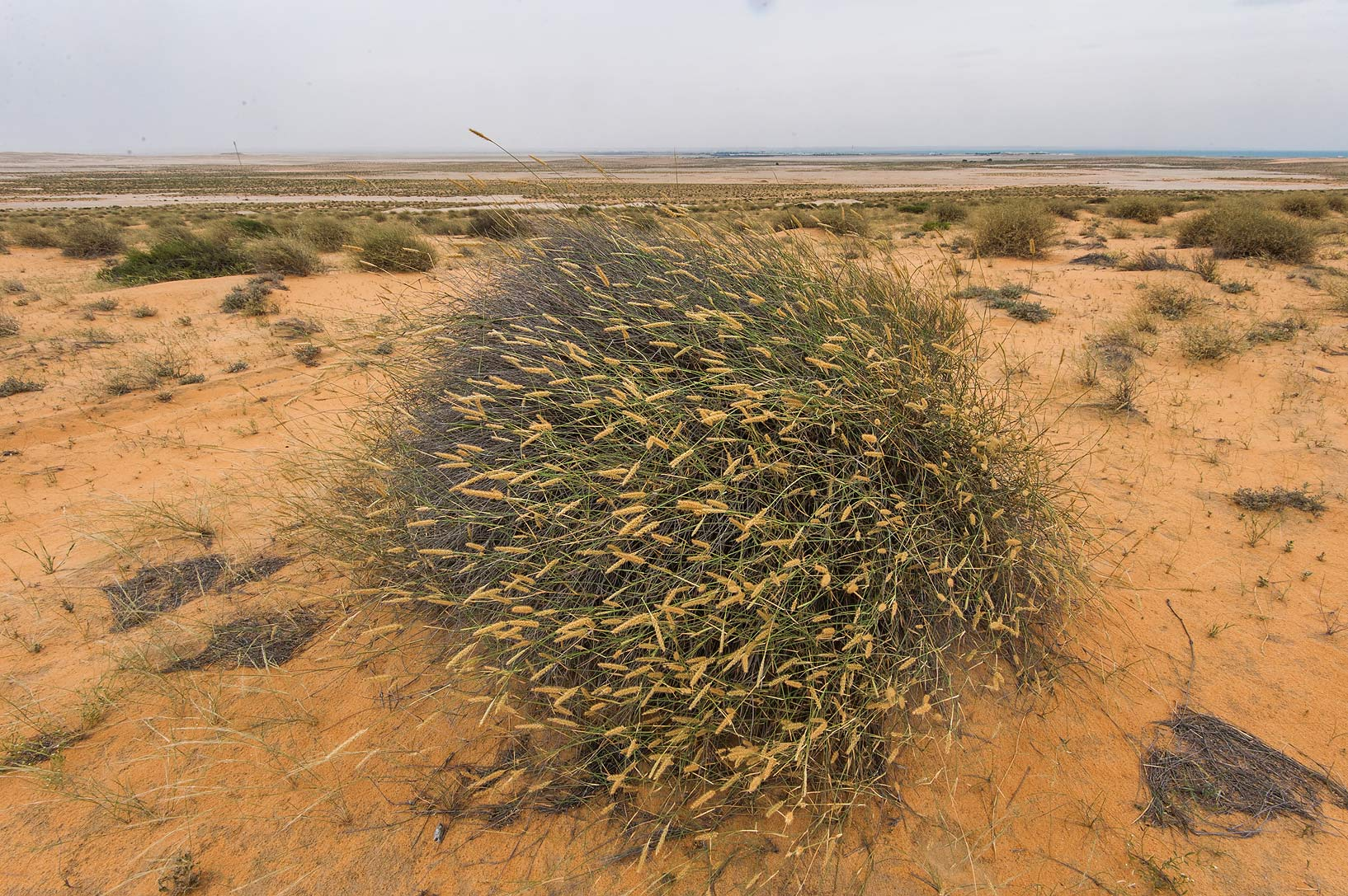 Clump of grass Pennisetum divisum on sand dunes...Reserve near Abu Samra. Southern Qatar